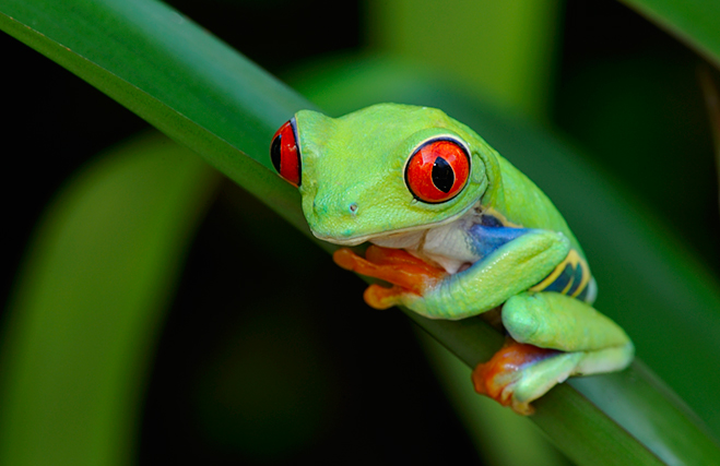 Nice Images Collection: Red Eyed Tree Frog Desktop Wallpapers