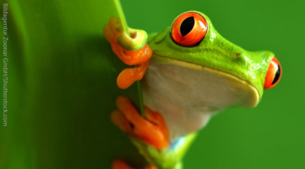Red Eyed Tree Frog High Quality Background on Wallpapers Vista