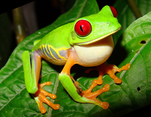 HQ Red Eyed Tree Frog Wallpapers | File 120.59Kb