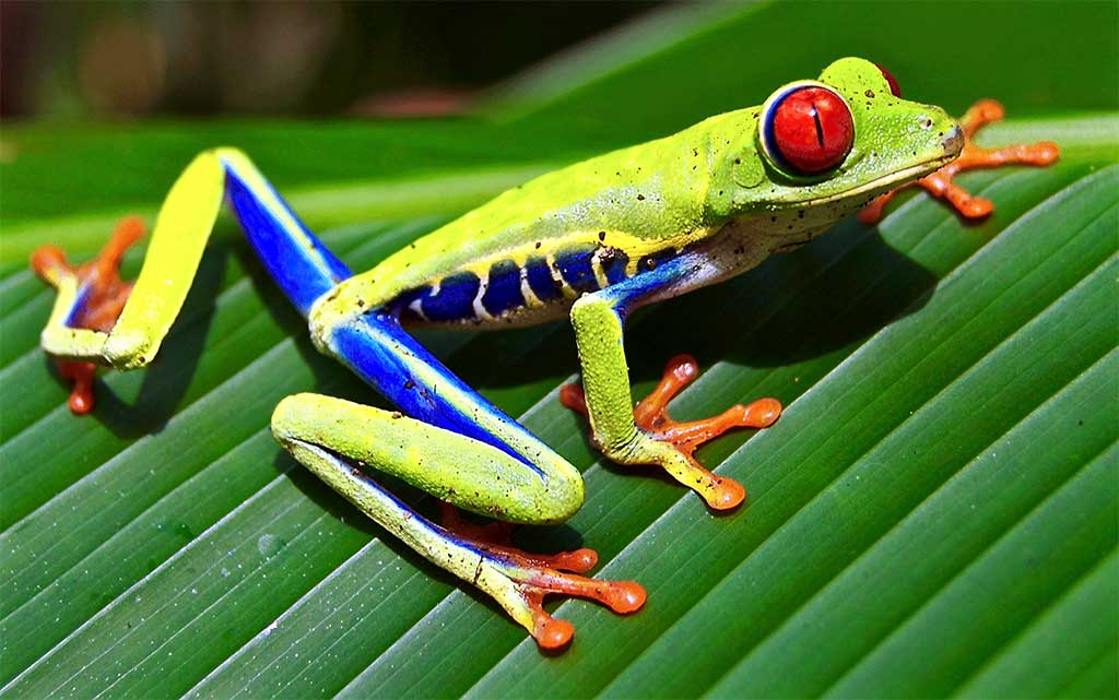 Red Eyed Tree Frog Backgrounds, Compatible - PC, Mobile, Gadgets| 1024x641 px