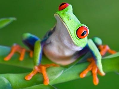 Images of Red Eyed Tree Frog | 400x300