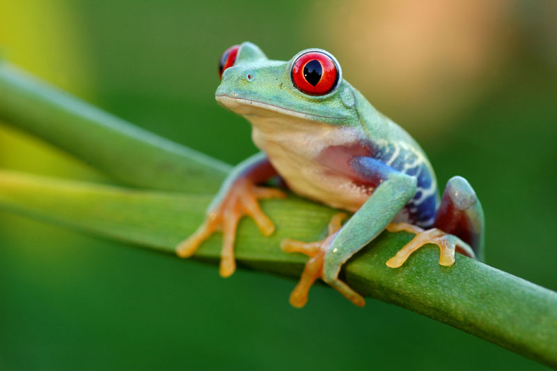 HD Quality Wallpaper | Collection: Animal, 800x532 Red Eyed Tree Frog