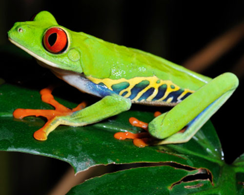 500x400 > Red Eyed Tree Frog Wallpapers