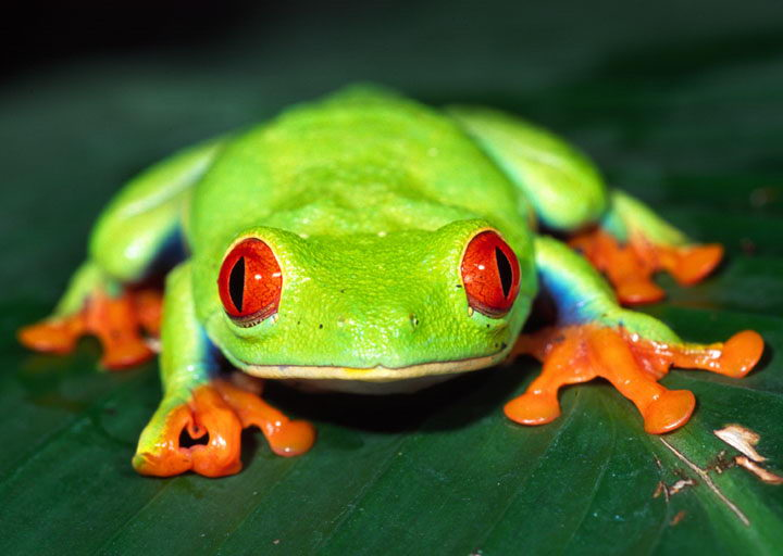 Amazing Red Eyed Tree Frog Pictures & Backgrounds