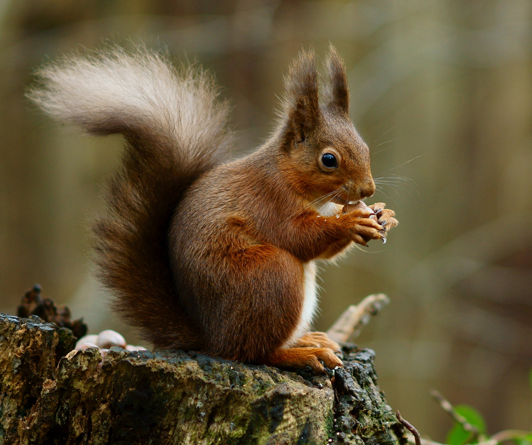 Nice wallpapers Squirrel 1706x1426px