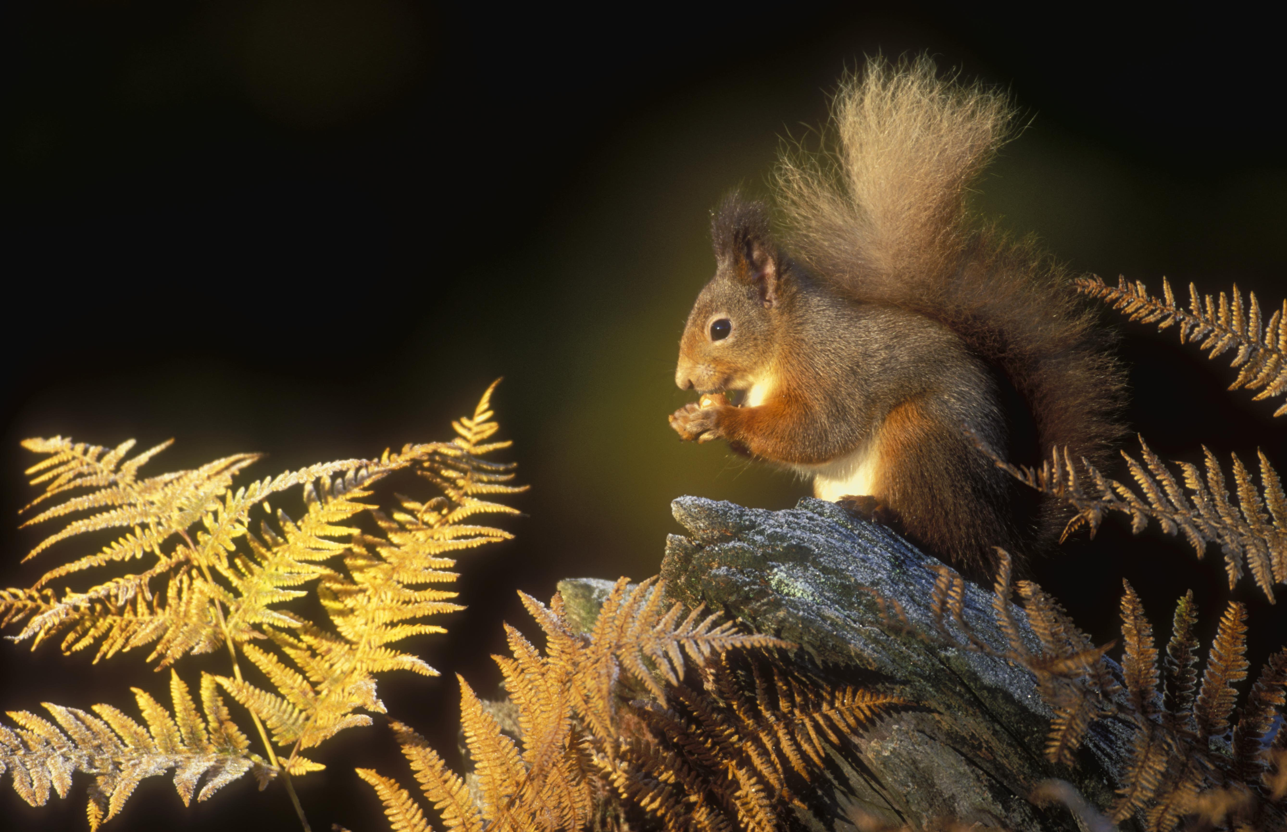 Amazing Red Squirrel Pictures & Backgrounds