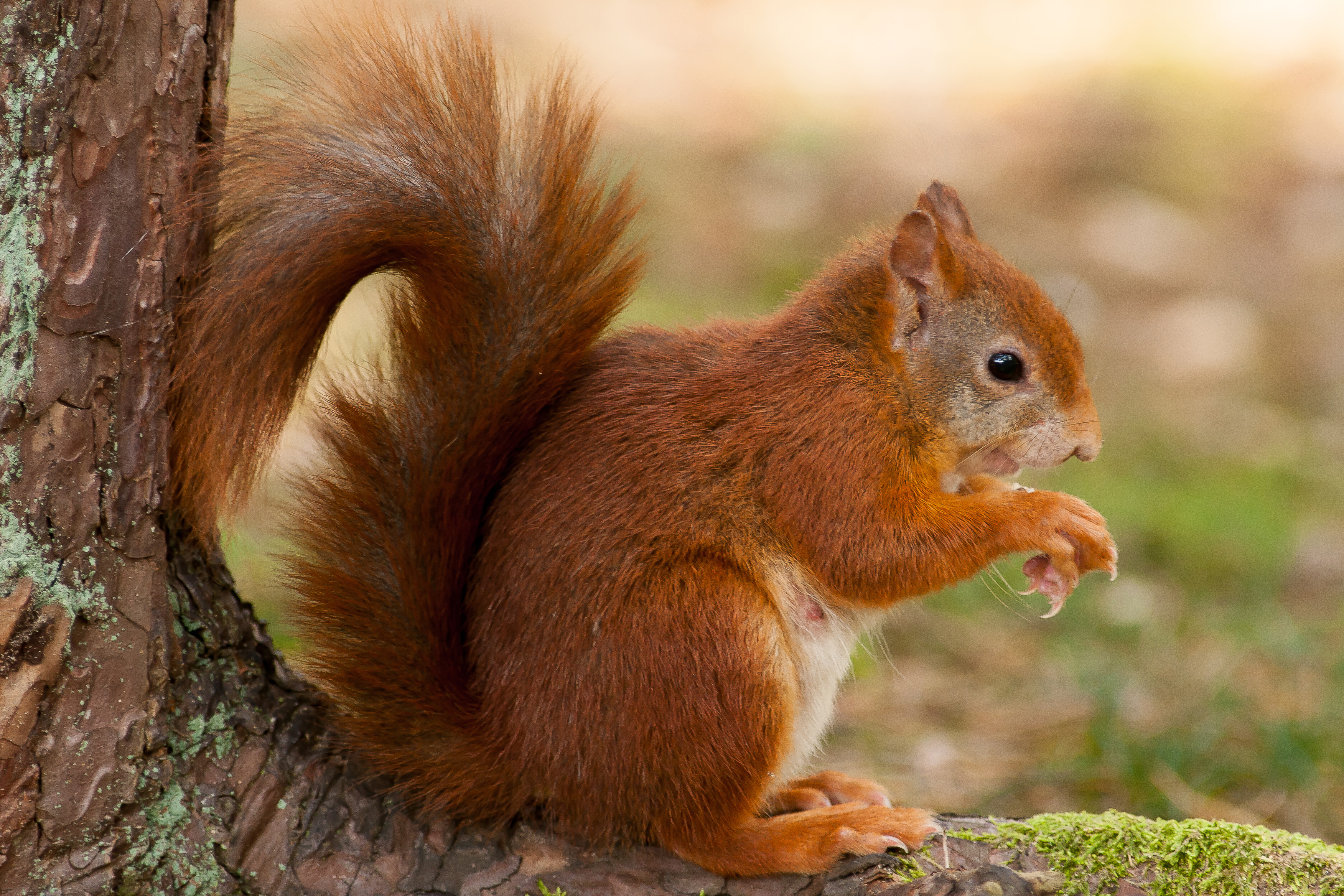 Red Squirrel Backgrounds, Compatible - PC, Mobile, Gadgets| 3504x2336 px