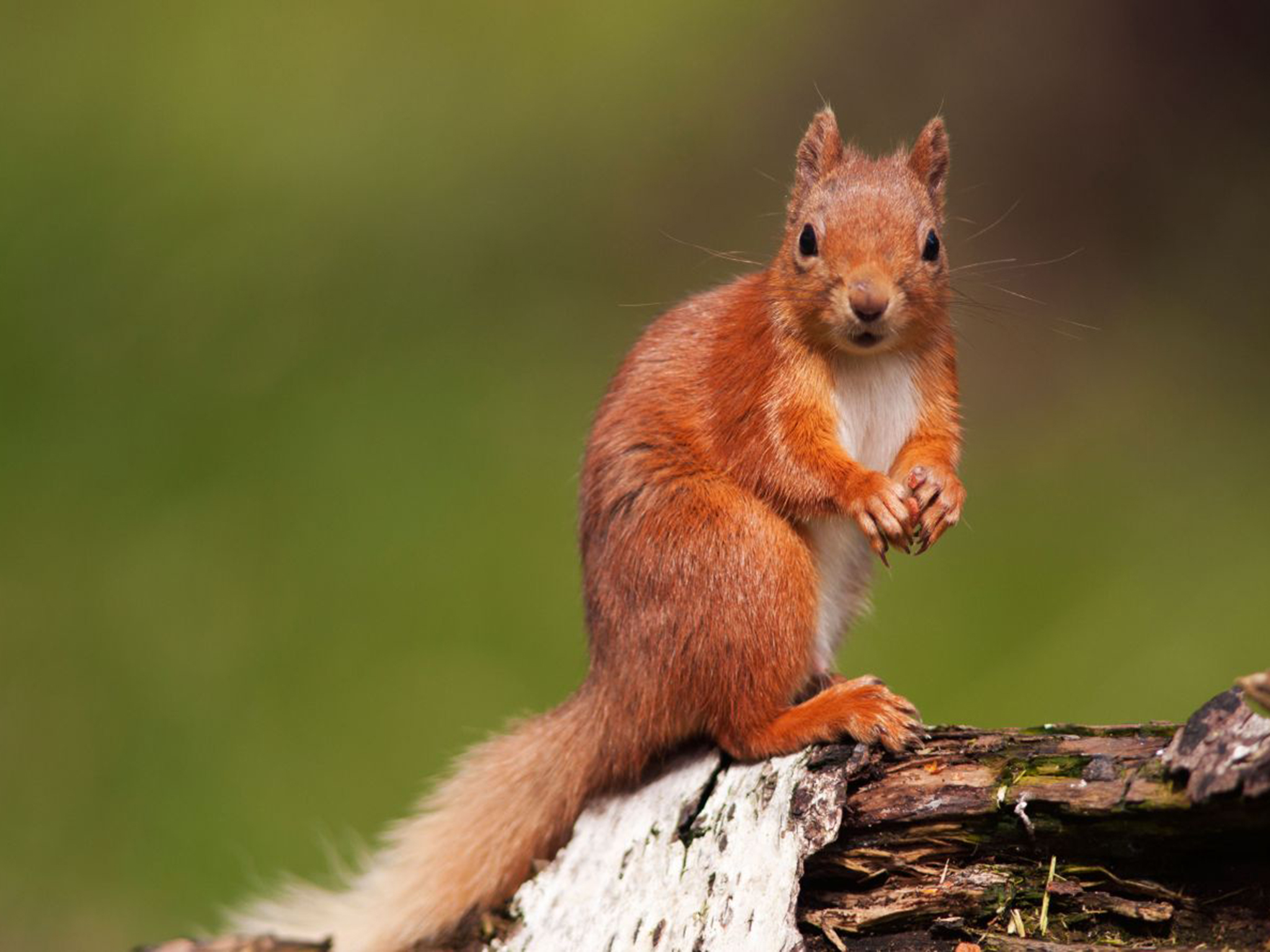 HQ Red Squirrel Wallpapers | File 828.02Kb