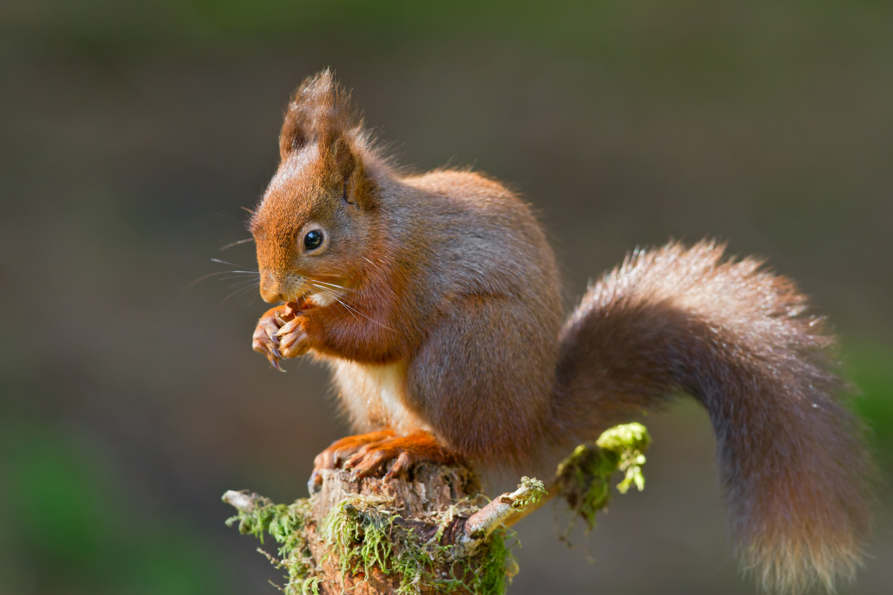 Nice wallpapers Red Squirrel 1800x1200px