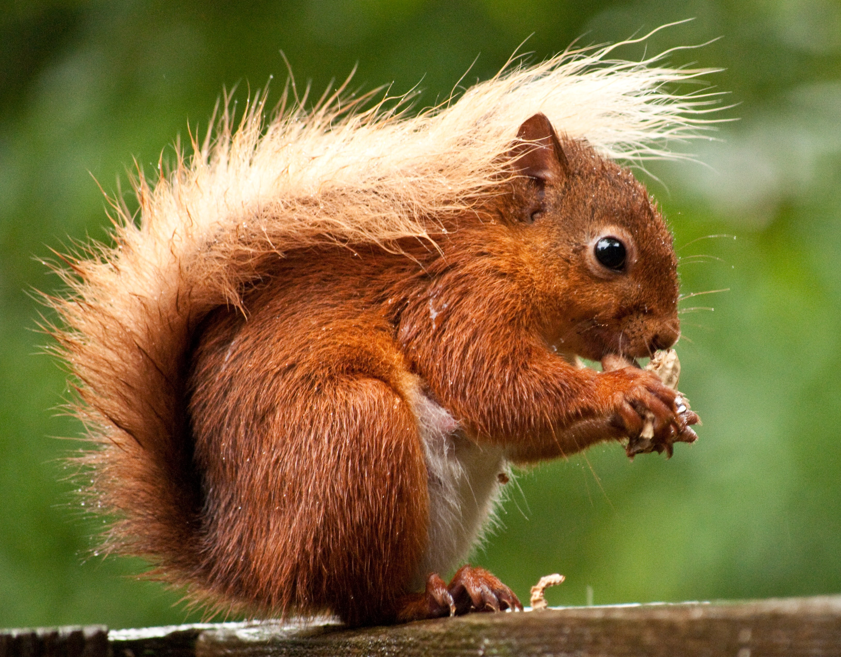 Images of Red Squirrel | 3249x2538