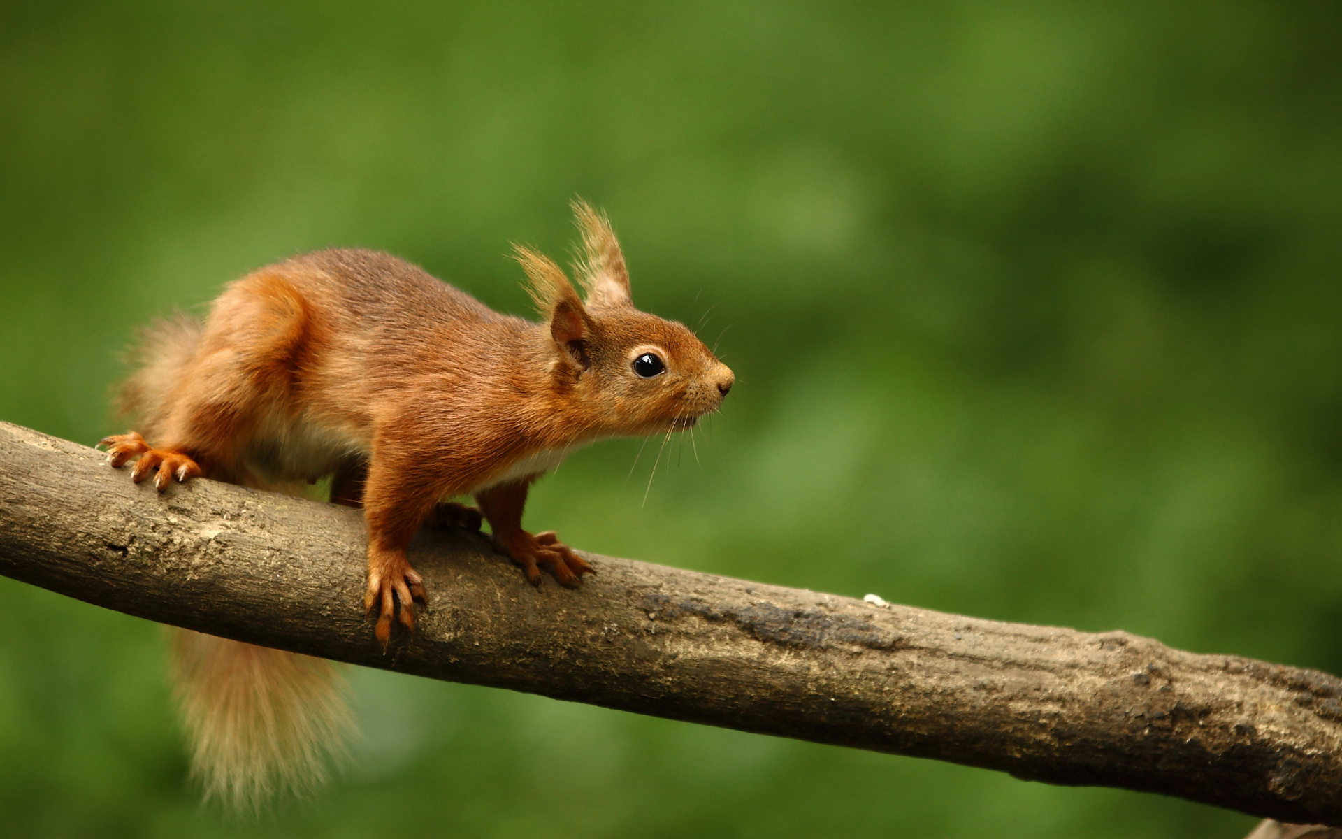 Nice Images Collection: Red Squirrel Desktop Wallpapers