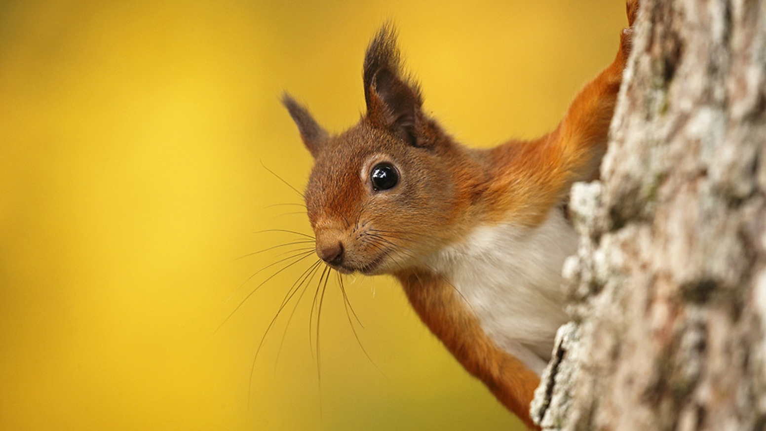 Images of Red Squirrel | 1552x873