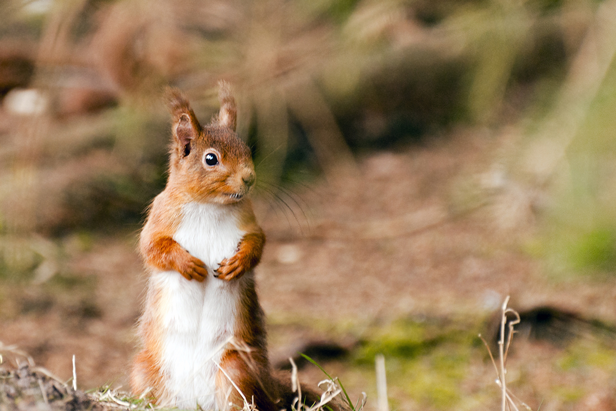 High Resolution Wallpaper | Red Squirrel 1200x800 px