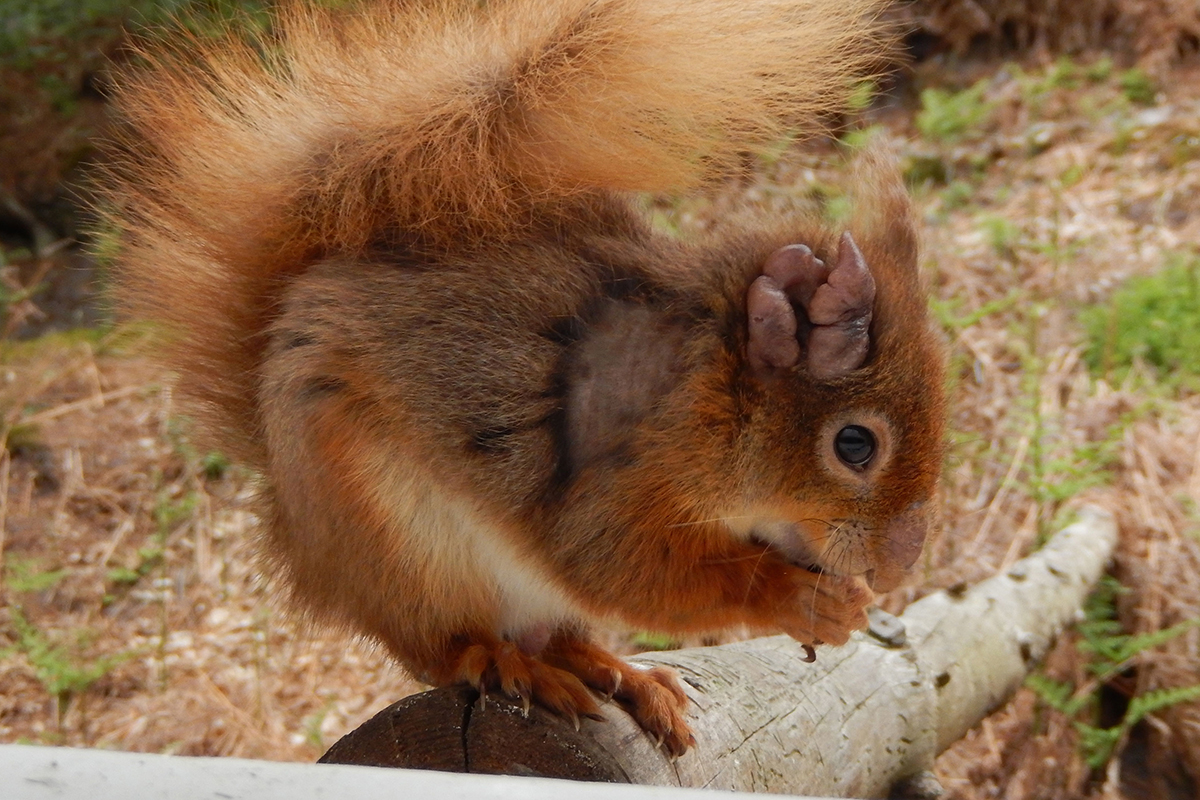 Red Squirrel High Quality Background on Wallpapers Vista