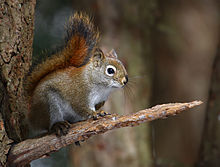 HQ Red Squirrel Wallpapers | File 12.94Kb