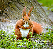 HQ Red Squirrel Wallpapers | File 15.81Kb