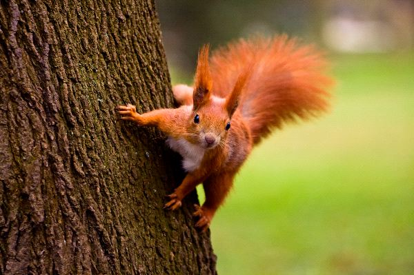 Images of Red Squirrel | 600x399