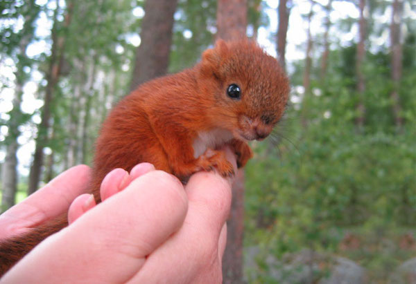 Nice wallpapers Red Squirrel 600x411px