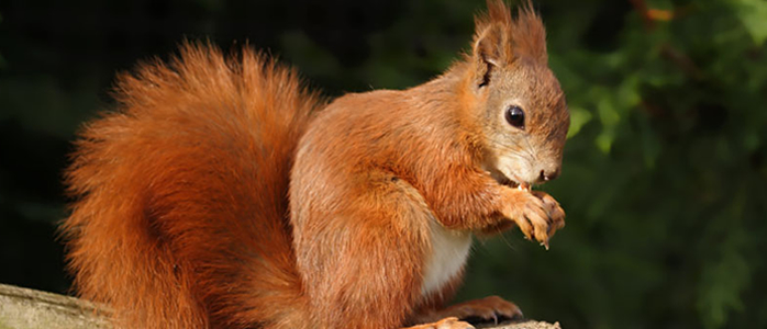 Red Squirrel Backgrounds on Wallpapers Vista