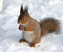 Red Squirrel Backgrounds, Compatible - PC, Mobile, Gadgets| 220x183 px