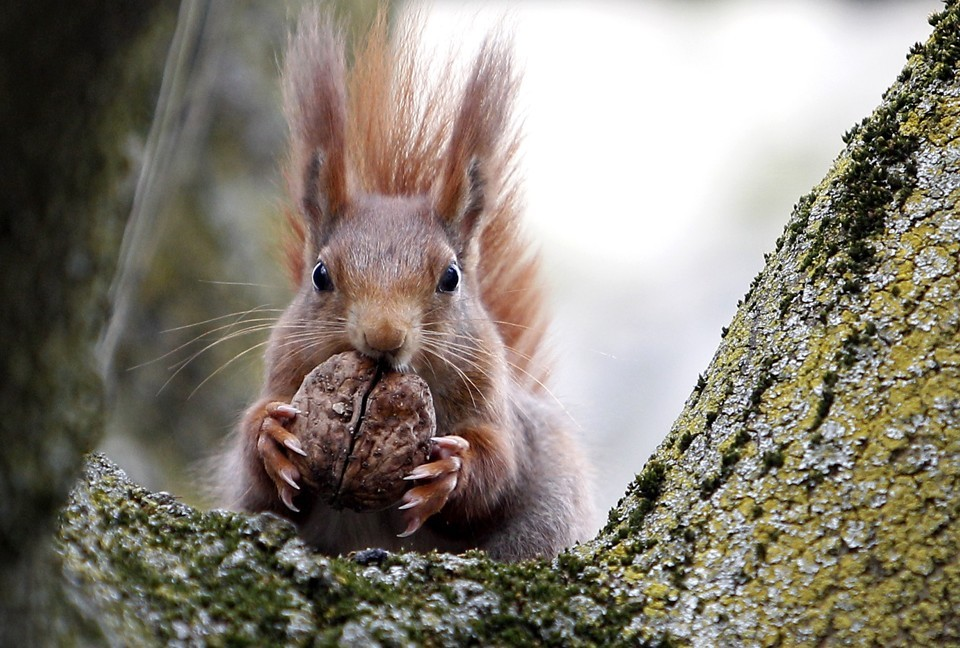 High Resolution Wallpaper | Red Squirrel 960x648 px