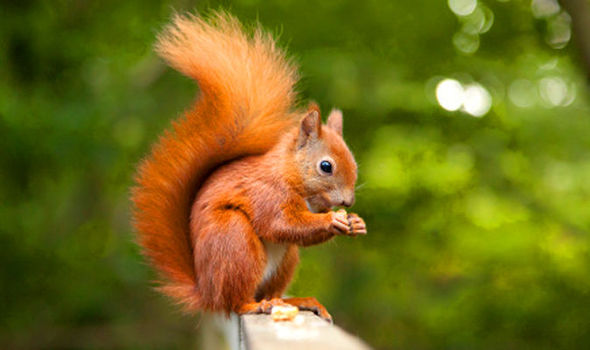 HQ Red Squirrel Wallpapers | File 34.01Kb