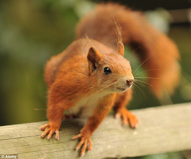 Red Squirrel Pics, Animal Collection
