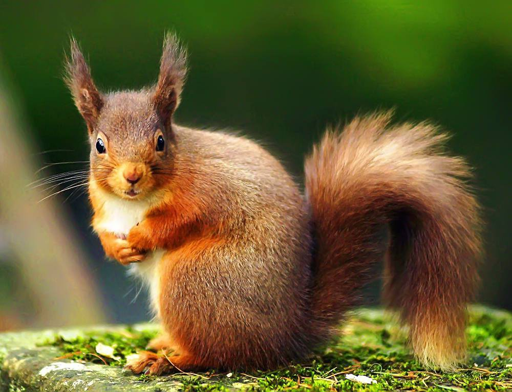 Red Squirrel Backgrounds, Compatible - PC, Mobile, Gadgets| 1000x767 px