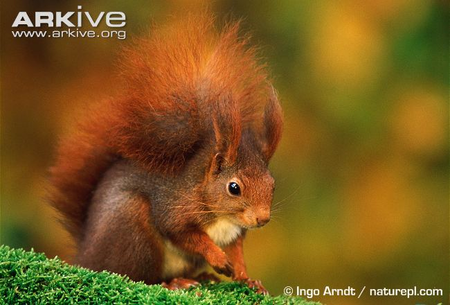 Nice wallpapers Red Squirrel 650x440px