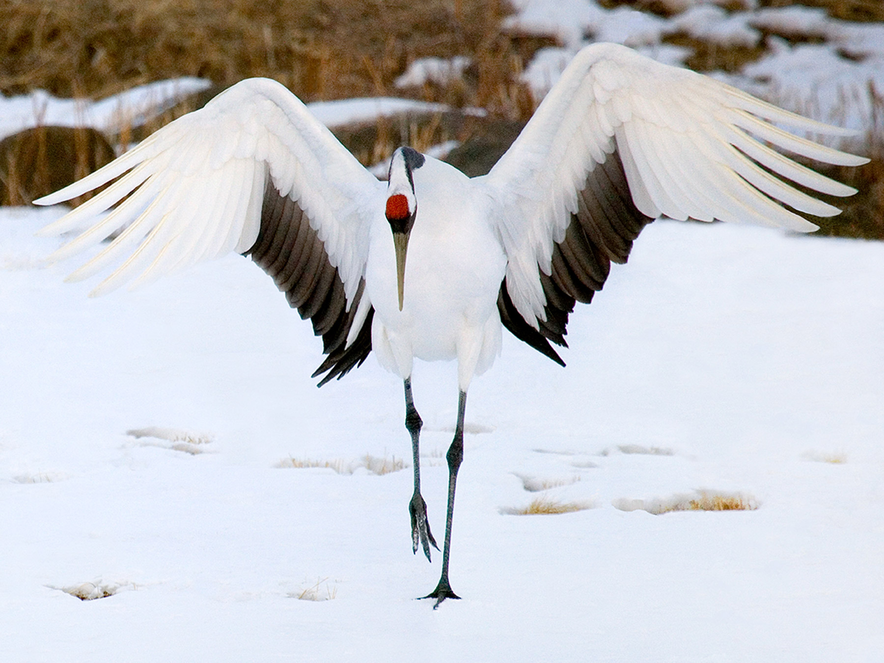 Nice Images Collection: Red-crowned Crane Desktop Wallpapers