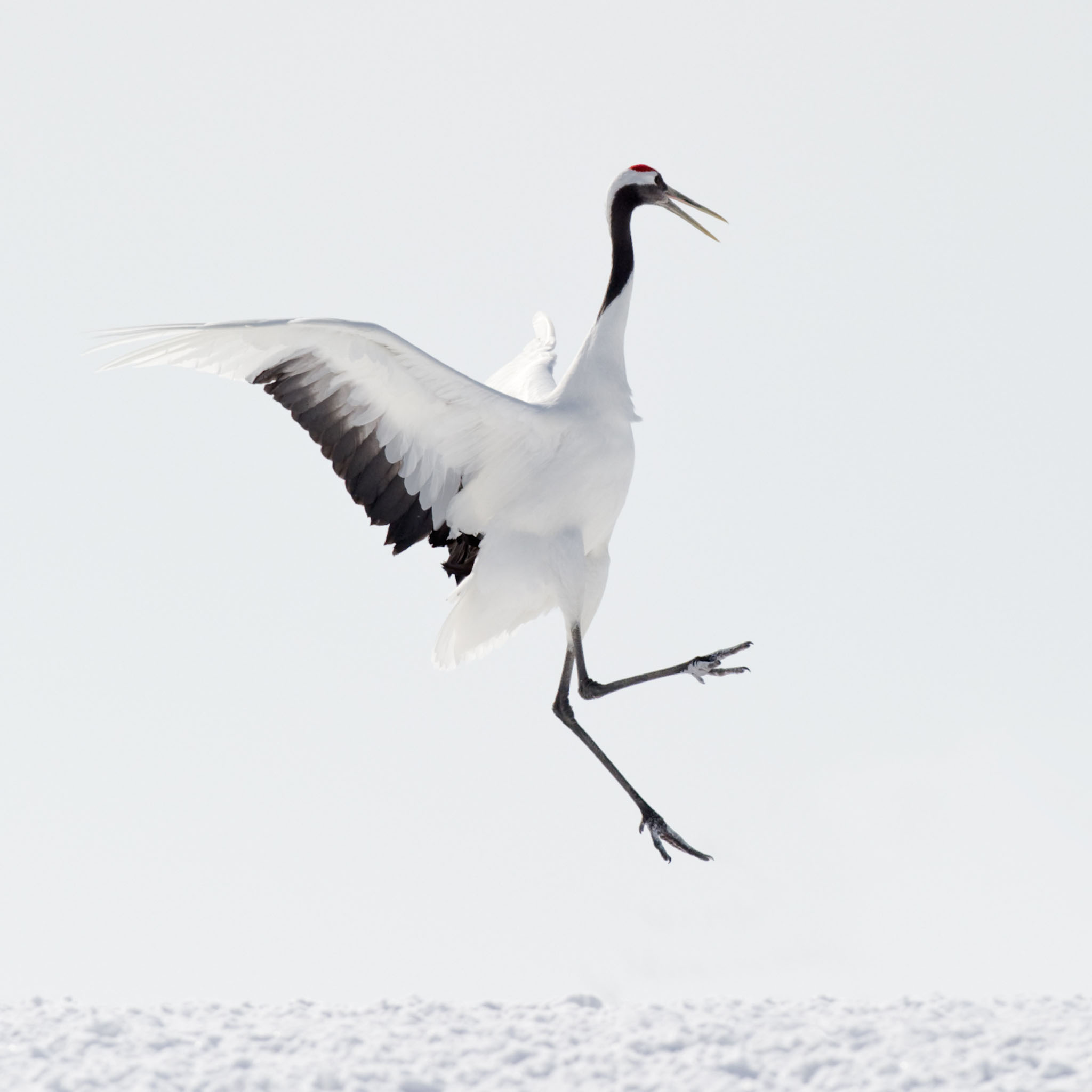 Red-crowned Crane Pics, Animal Collection