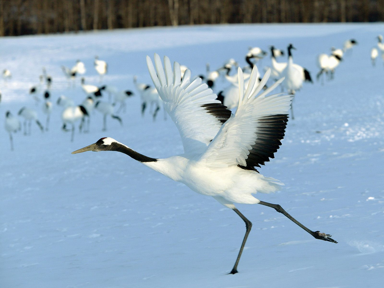 Nice wallpapers Red-crowned Crane 1600x1200px