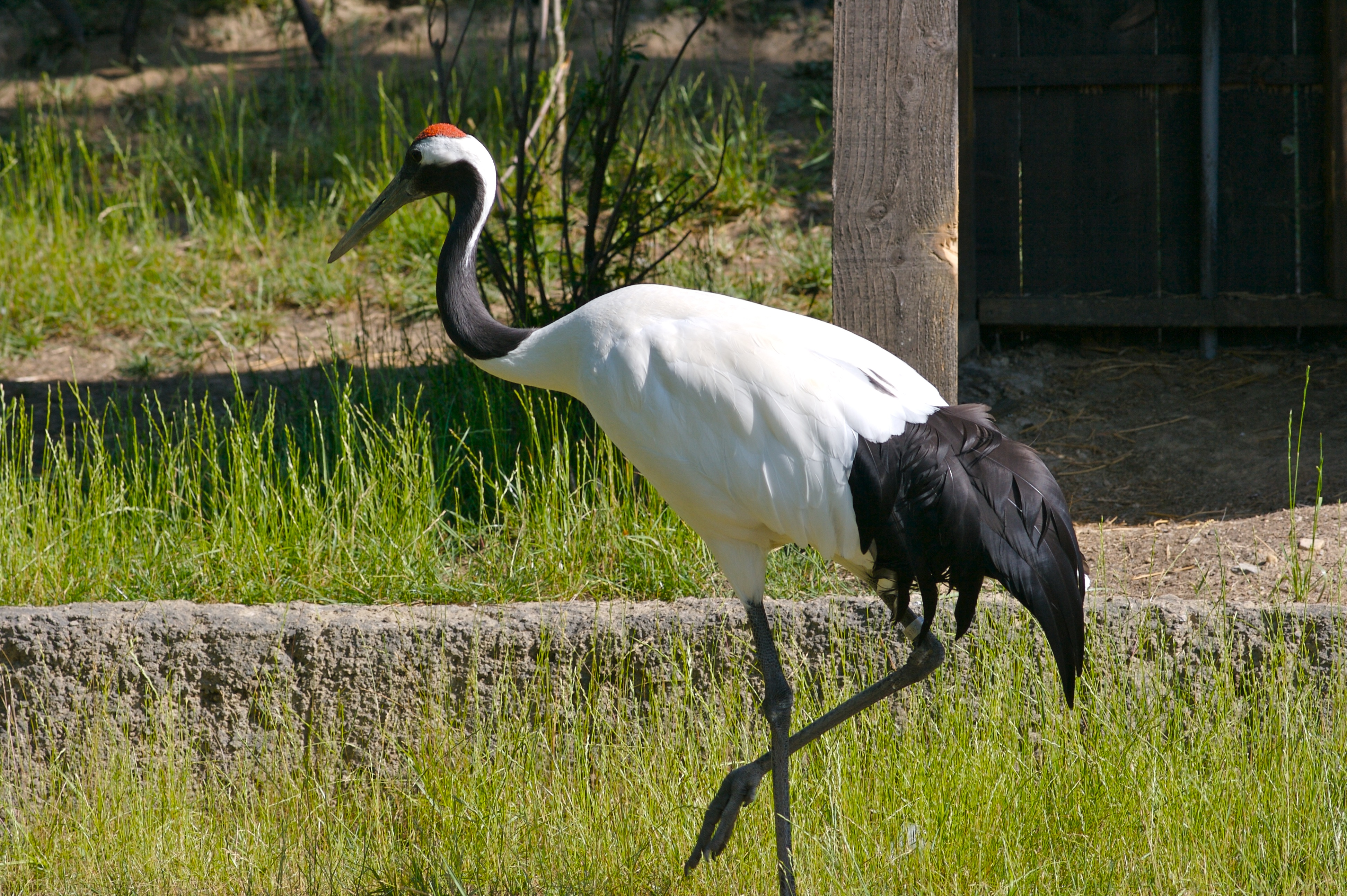 Images of Red-crowned Crane | 3888x2588