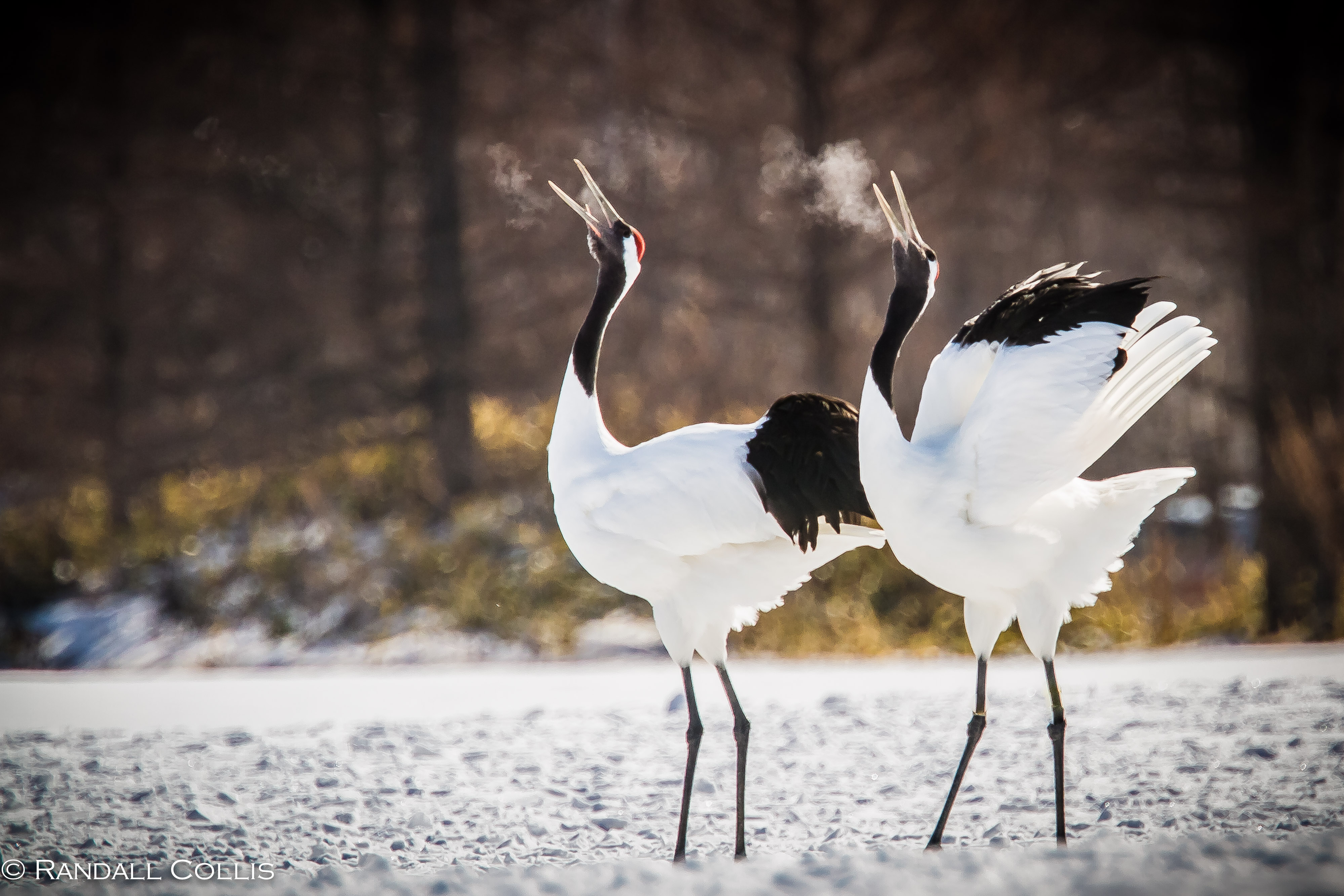 Red-crowned Crane Backgrounds on Wallpapers Vista