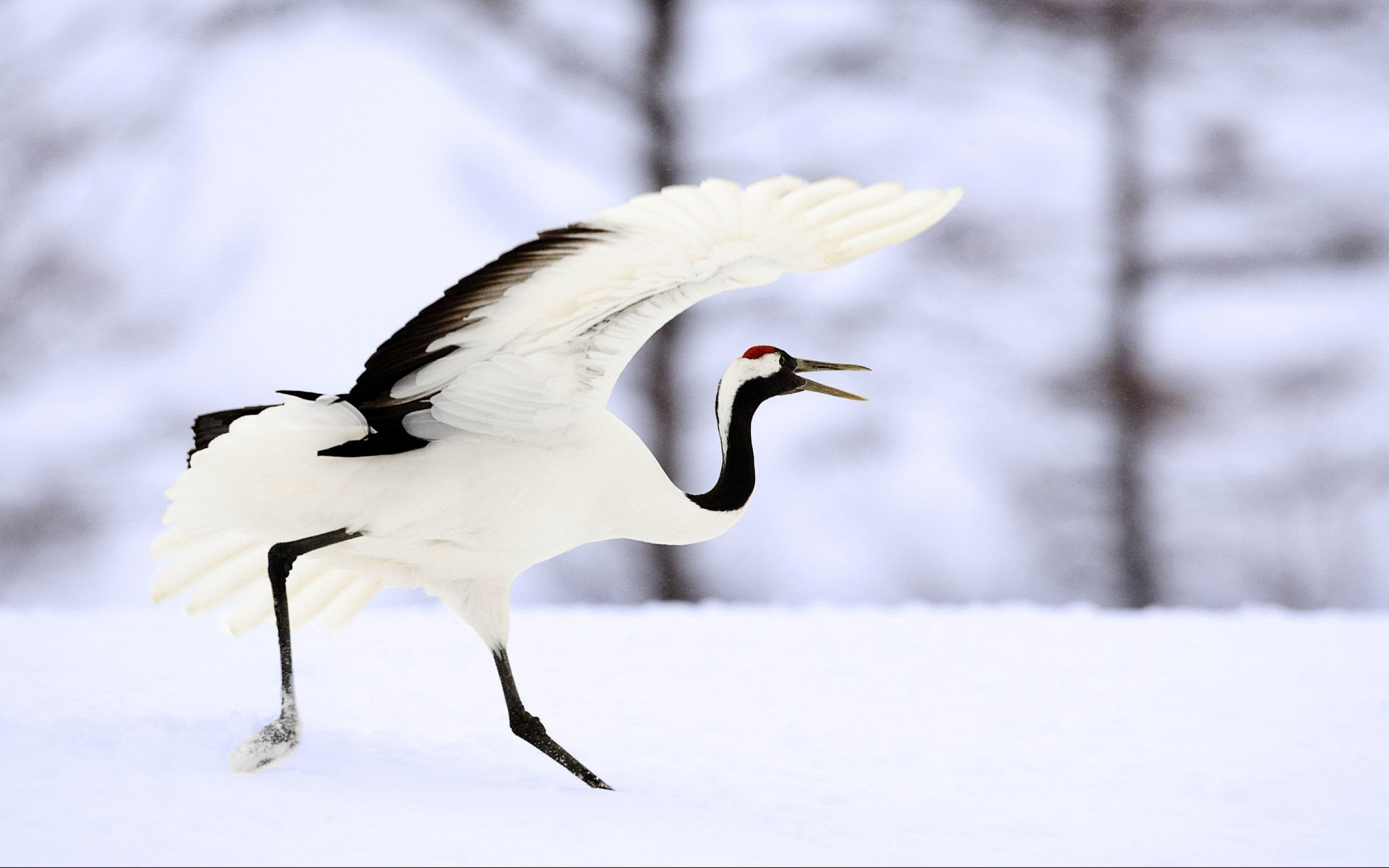 Nice wallpapers Red-crowned Crane 2560x1600px