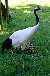 Red-crowned Crane High Quality Background on Wallpapers Vista