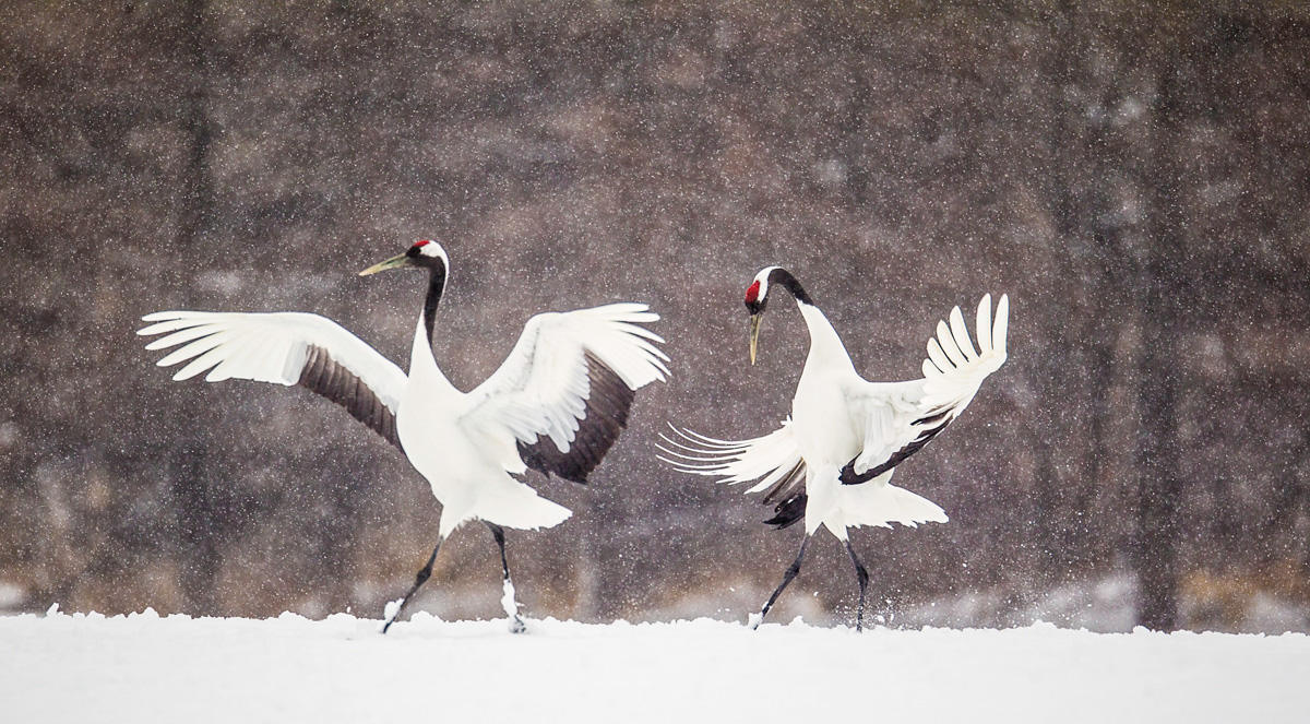 High Resolution Wallpaper | Red-crowned Crane 1200x663 px