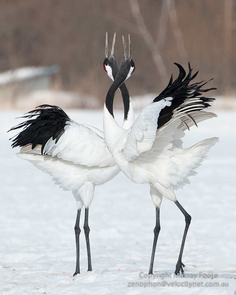 High Resolution Wallpaper | Red-crowned Crane 820x1024 px