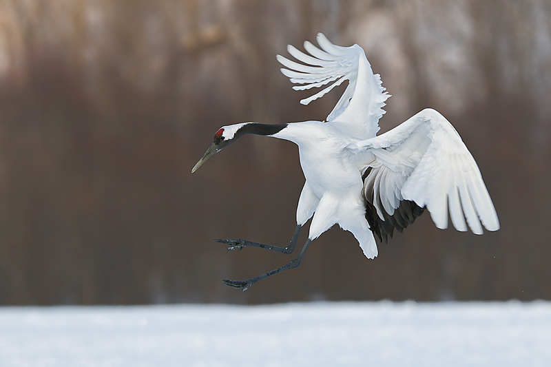 Nice wallpapers Red-crowned Crane 800x533px