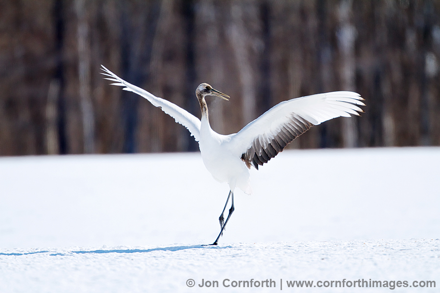 HD Quality Wallpaper | Collection: Animal, 900x600 Red-crowned Crane