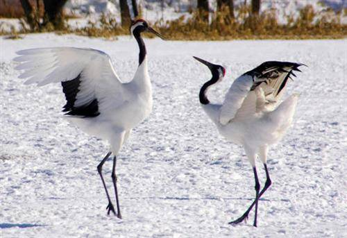 HQ Red-crowned Crane Wallpapers | File 32.67Kb