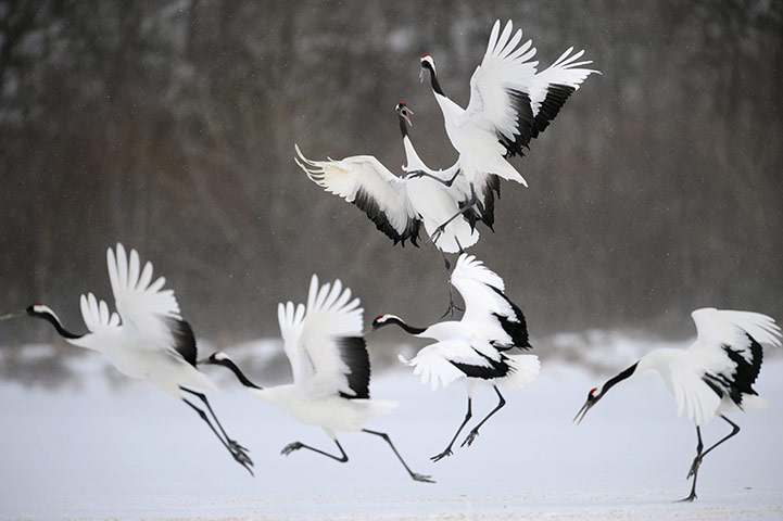 Nice wallpapers Red-crowned Crane 721x480px