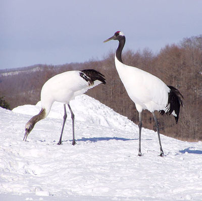 Images of Red-crowned Crane | 400x398