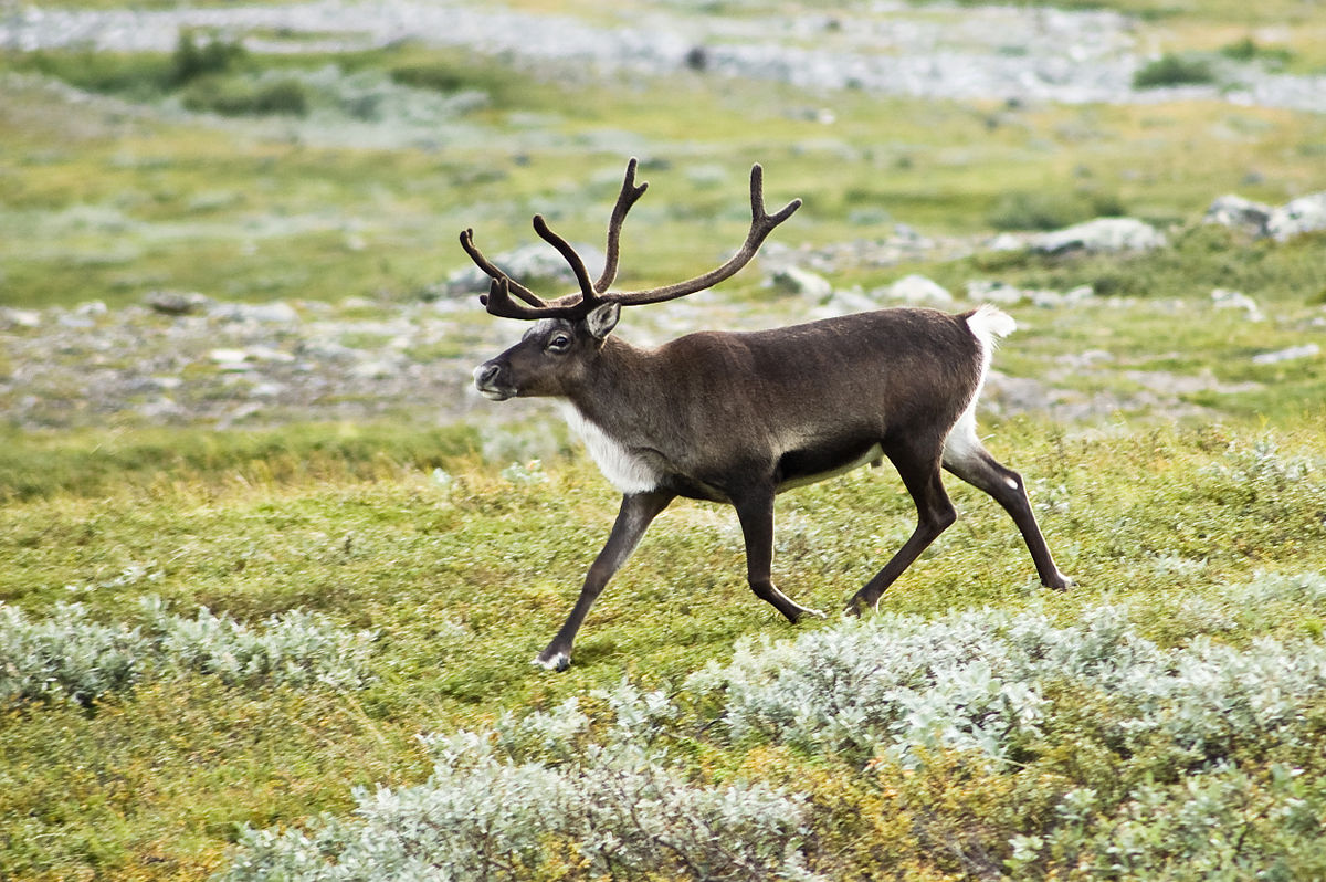 Reindeer Backgrounds, Compatible - PC, Mobile, Gadgets  1200x798 px