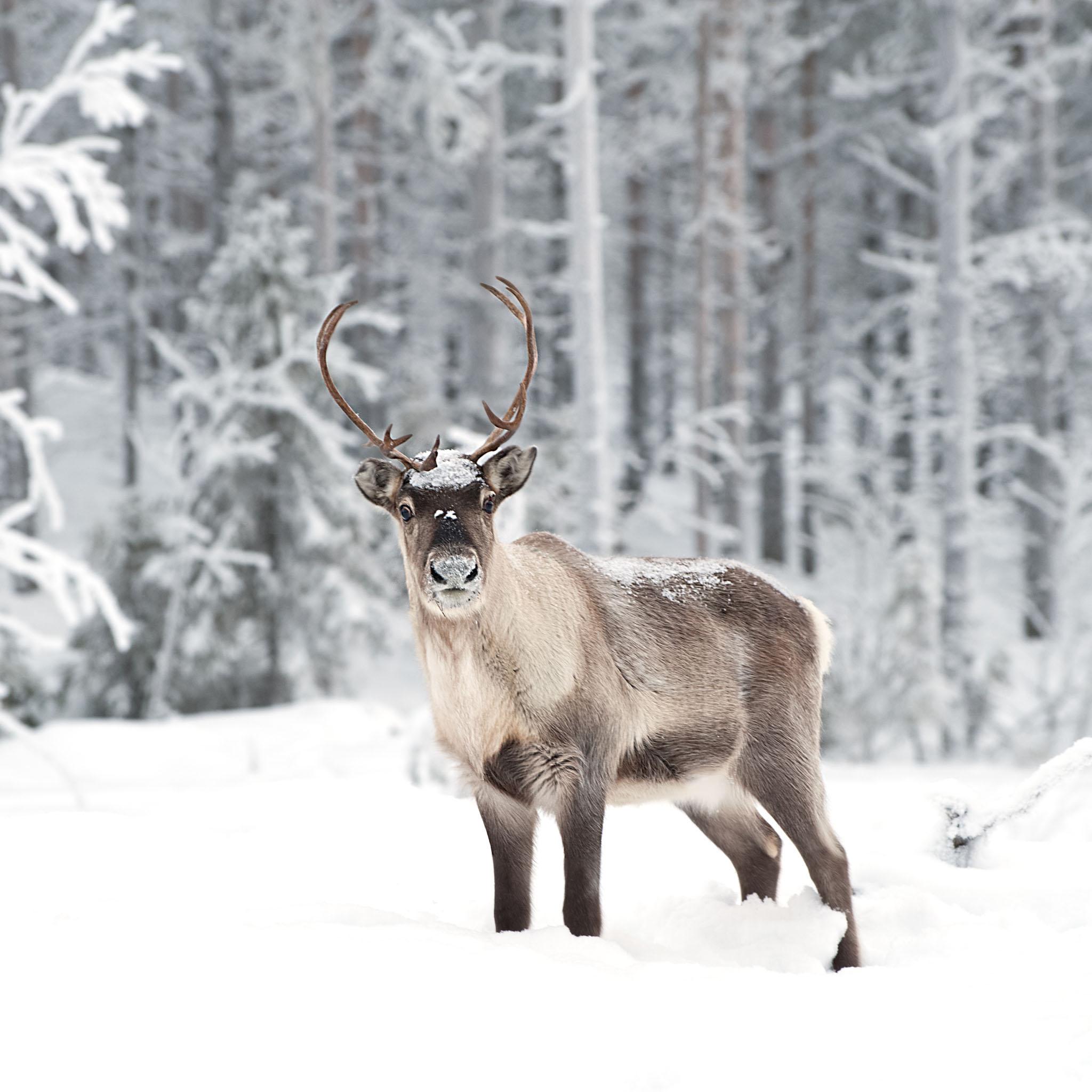 Images of Reindeer   2048x2048
