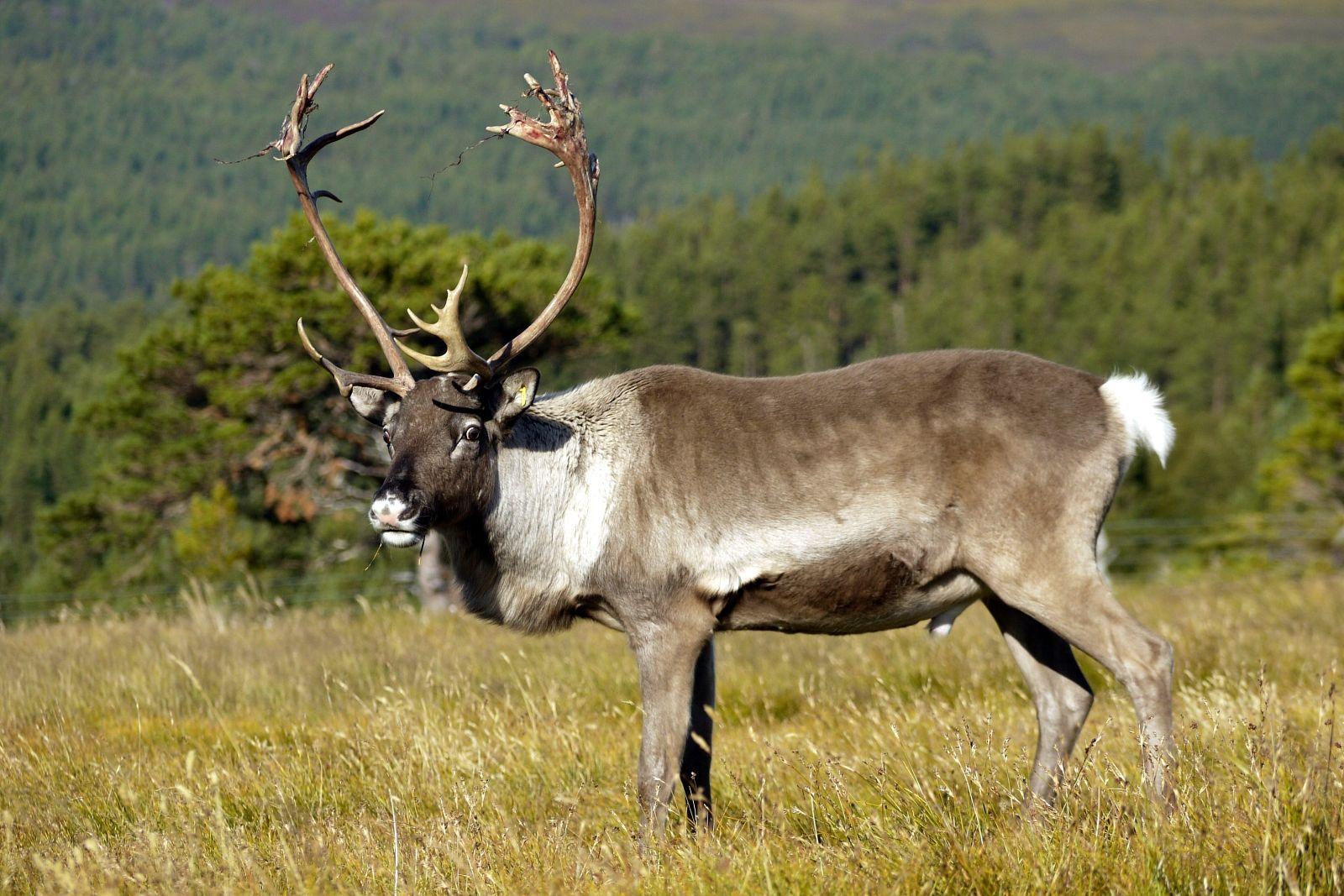 если северный олень новоземельский подвид фото мастерская осуществляет художественную