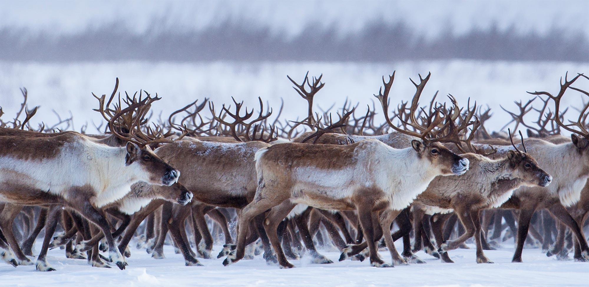 2000x975 > Reindeer Wallpapers