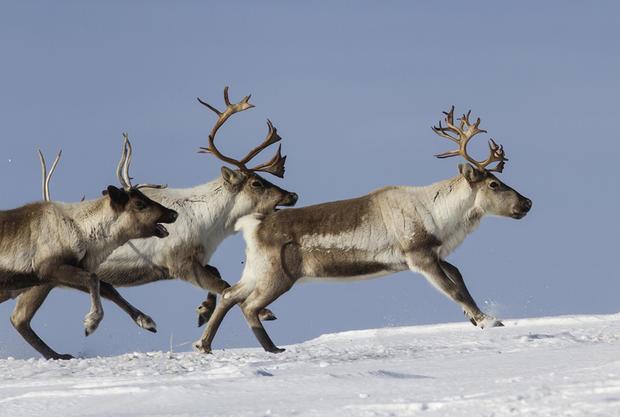 High Resolution Wallpaper   Reindeer 620x417 px