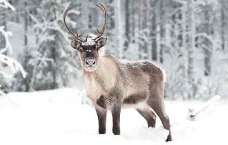 HD Quality Wallpaper   Collection: Animal, 450x287 Reindeer