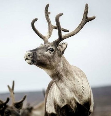 HD Quality Wallpaper   Collection: Animal, 431x450 Reindeer